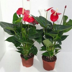 ANTHURIUM ALAHABAMA