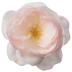 Rosa Comestible Delicate / Incredible® Roses