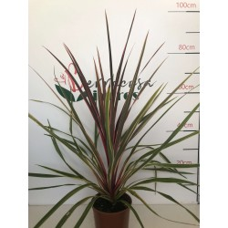 Dracaena Cordyline Can Can