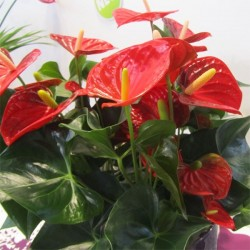 ANTHURIUM PURE RED M 17